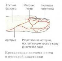 Кровеносная система ногтя и ногтевой пластинки