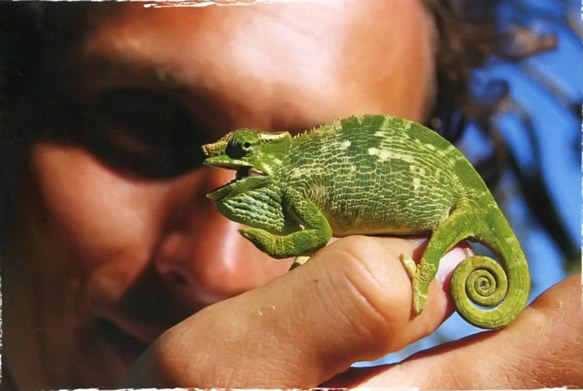 Ручной хамелеон