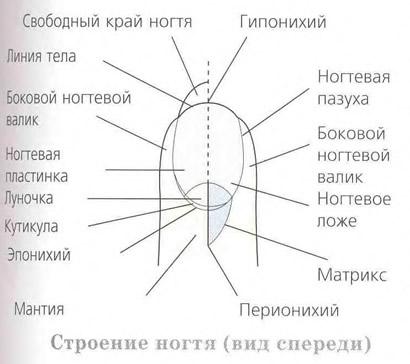 Строение ногтя (вид спереди)