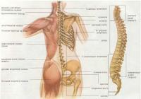 Плечи и спина. Строение, функции и уход